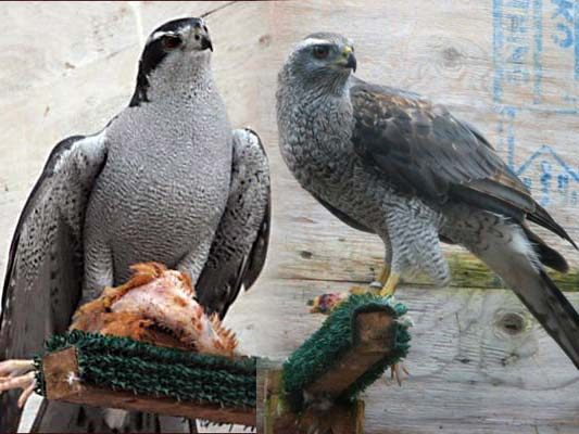 Deposit for Falconry B...